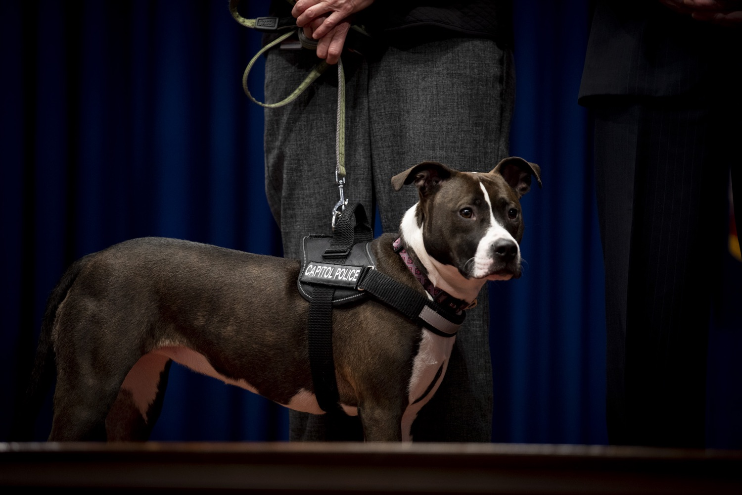 """<a href=""""https://filesource.wostreaming.net/commonwealthofpa/photo/17734_AUD_GEN_DOG_LICENSING_CZ_07.JPG"""" target=""""_blank"""">⇣Download Photo<br></a>Capitol Police community service dog Cappy, who was found abandoned as a puppy, serves as a reminder of why dog licensing is important in Pennsylvania, at the Harrisburg Capitol on February 6, 2020."""