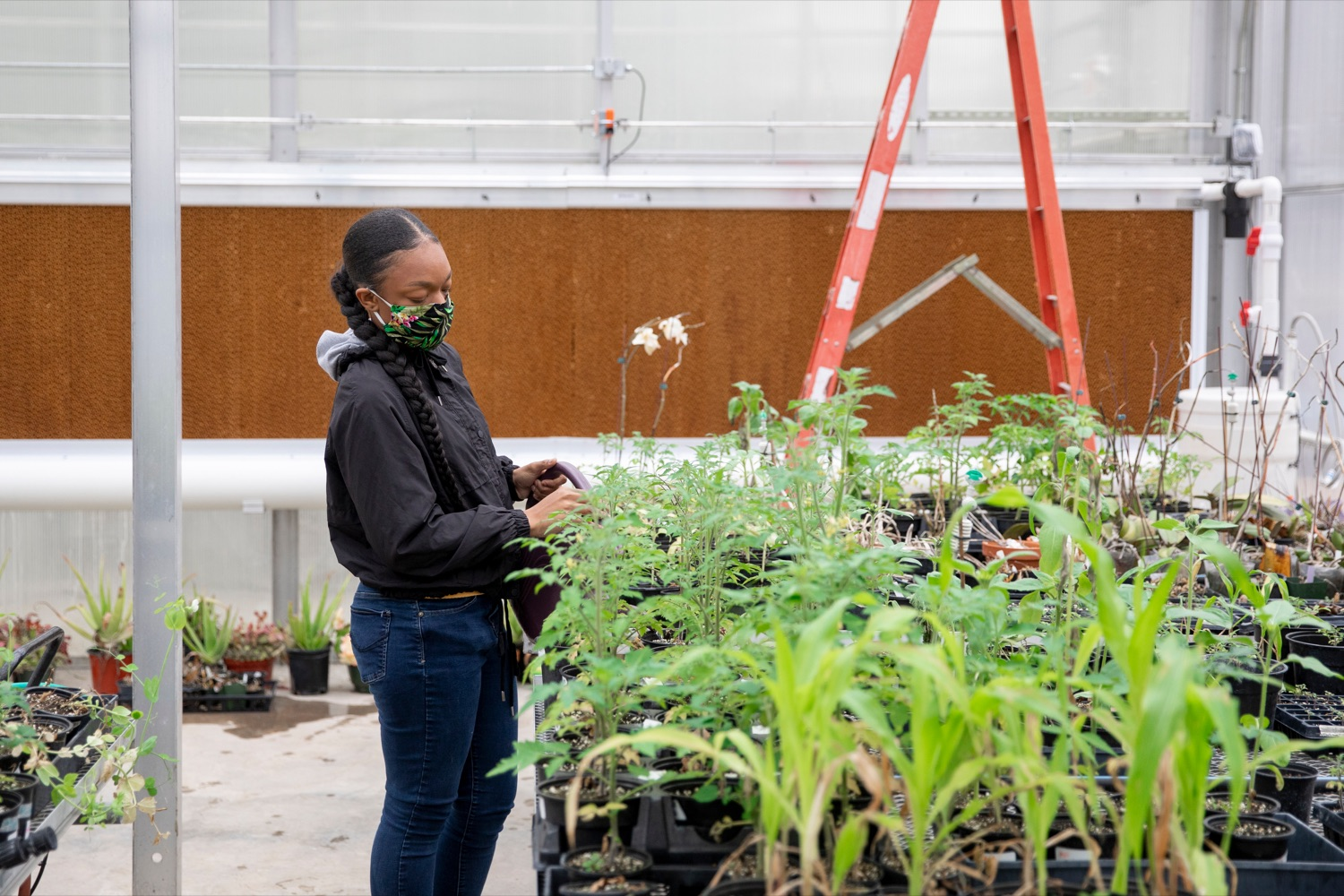 "<a href=""https://filesource.wostreaming.net/commonwealthofpa/photo/18324_AGRIC_Farm_Show_NK_015.jpg"" target=""_blank"">⇣ Download Photo<br></a>Delaware Valley University's Daijah Barrett 22, works with plants inside the university's Feldstein Horticulture Science Center research greenhouses in Doylestown on Thursday, November 12, 2020."