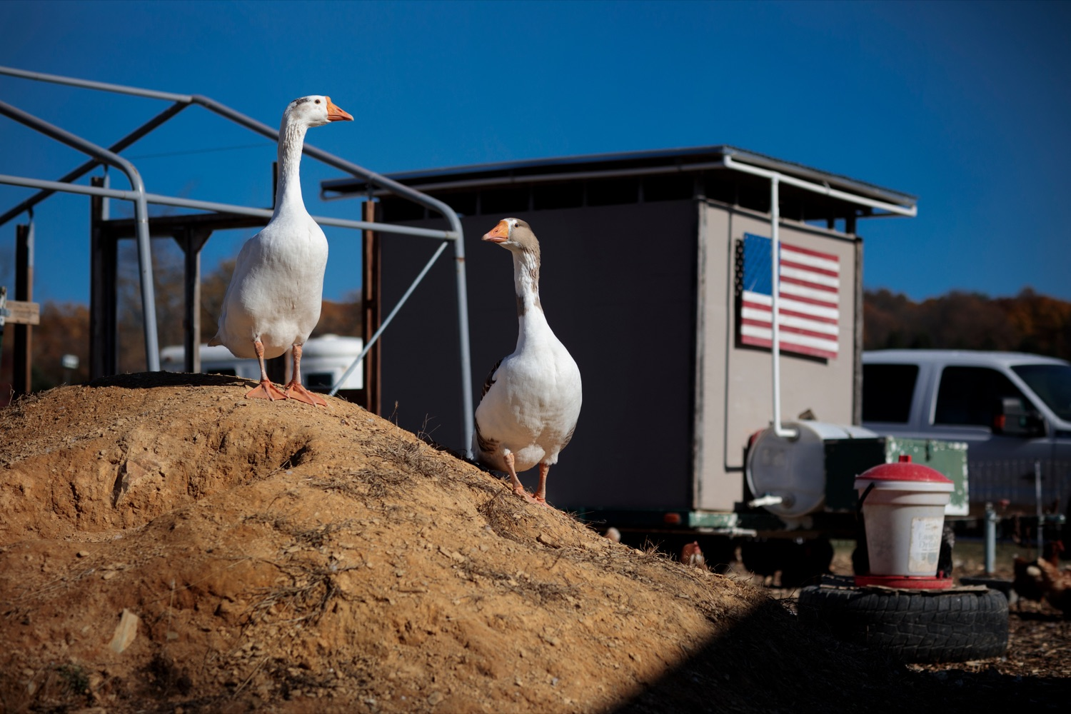 """<a href=""""https://filesource.wostreaming.net/commonwealthofpa/photo/18388_AGRIC_Veteran_Farmers_NK_007.jpg"""" target=""""_blank"""">⇣Download Photo<br></a>Geese stand guard at Hubbard's Family Ranch in Adams County on Friday, November 6, 2020. Hubbard's Family Ranch received grants in September through the states $10 million Fresh Food Financing Initiative COVID-19 Relief Fund to expand access to fresh food in low-income communities during the pandemic."""