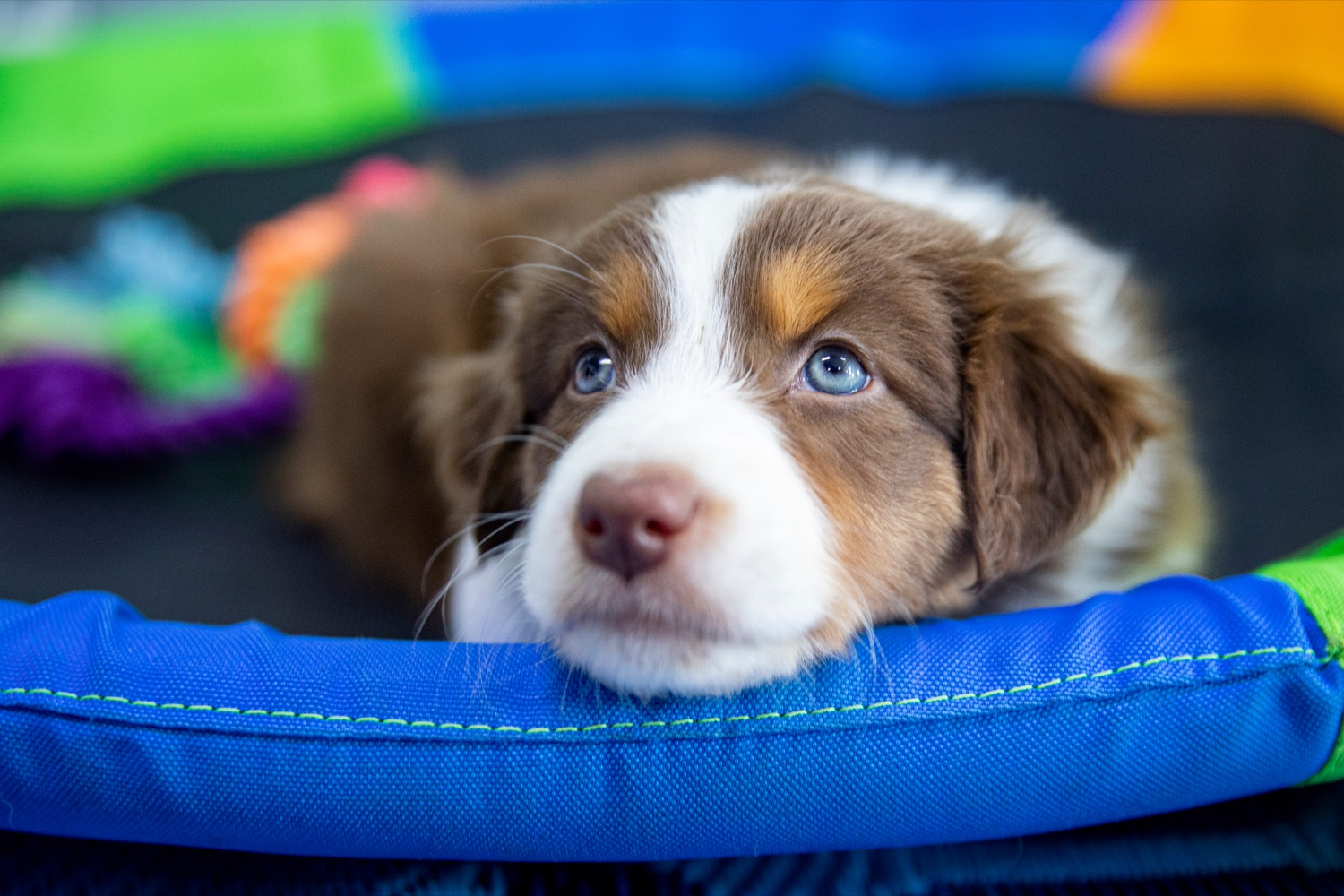 "<a href=""https://filesource.wostreaming.net/commonwealthofpa/photo/18648_AGRIC_Dog_Law_NK_001.jpg"" target=""_blank"">⇣ Download Photo<br></a>A six-week-old Australian shepherd puppy, of Creekside Aussies, a compliant non-commercial breeding kennel, starts to get sleepy on Thursday, April 8, 2021."