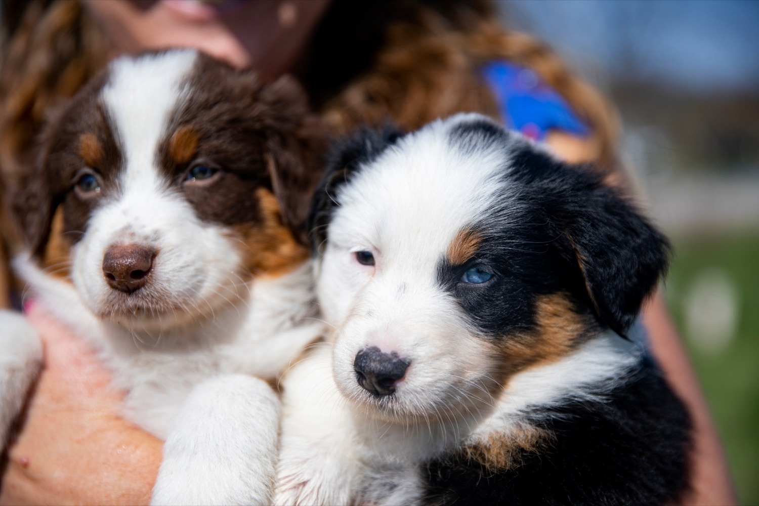 "<a href=""https://filesource.wostreaming.net/commonwealthofpa/photo/18648_AGRIC_Dog_Law_NK_014.jpg"" target=""_blank"">⇣ Download Photo<br></a>Sarah Martin, owner of Creekside Aussies, holds six-week-old Australian shepherd puppies, at her home in Annville on Thursday, April 8, 2021."