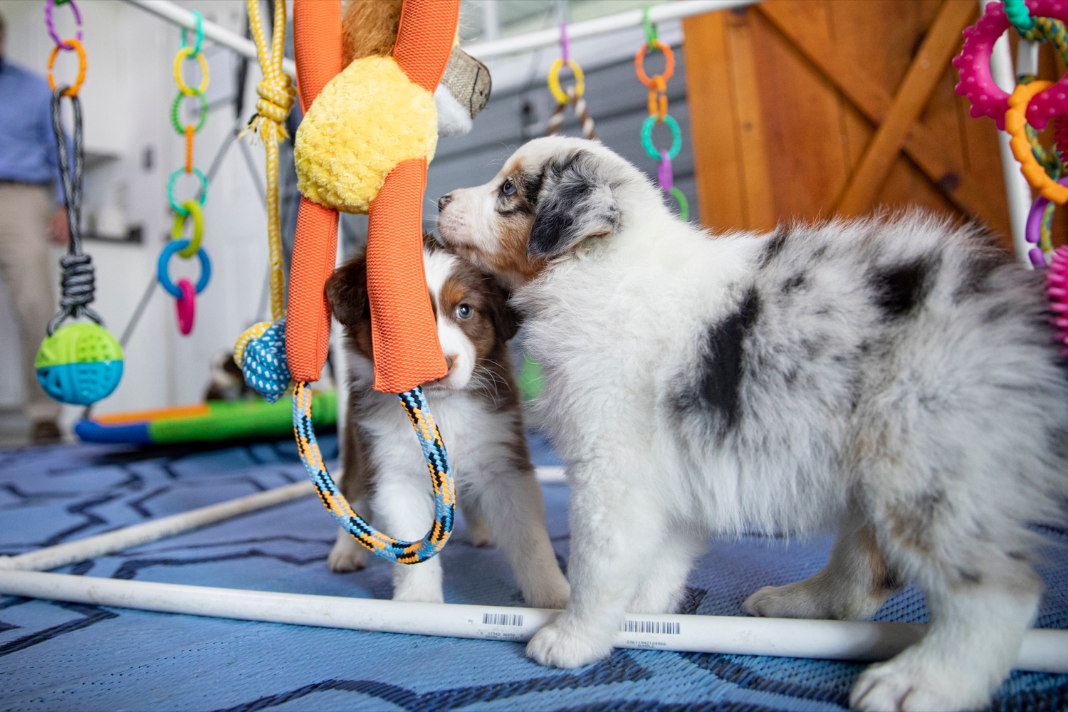 "<a href=""https://filesource.wostreaming.net/commonwealthofpa/photo/18648_AGRIC_Dog_Law_NK_019.jpg"" target=""_blank"">⇣ Download Photo<br></a>Six-week-old Australian shepherd puppies of Creekside Aussies, a compliant non-commercial breeding kennel, play together on Thursday, April 8, 2021."