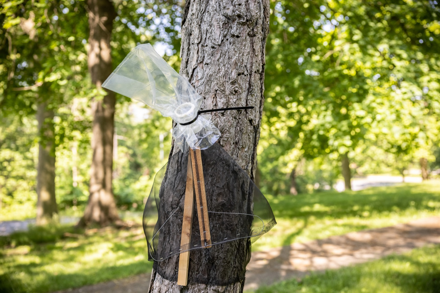 """<a href=""""https://filesource.wostreaming.net/commonwealthofpa/photo/18762_agric_slftrap_dz_005.jpg"""" target=""""_blank"""">⇣Download Photo<br></a>A circle trap deployed on a tree. Today in Harrisburg, a specialist from the PA Department of Agriculture demonstrated how homeowners can use a circle trap to eliminate large numbers of destructive Spotted Lanternflies without harming beneficial pollinators or small animals.   Harrisburg, PA  May 21, 2021"""