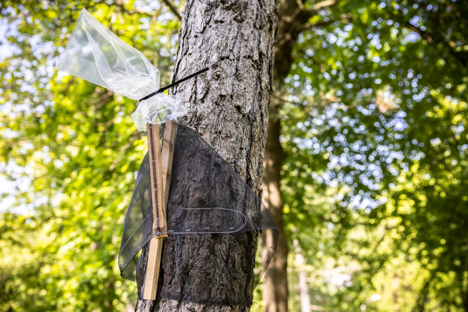"""<a href=""""https://filesource.wostreaming.net/commonwealthofpa/photo/18762_agric_slftrap_dz_011.jpg"""" target=""""_blank"""">⇣Download Photo<br></a>A circle trap deployed on a tree. Today in Harrisburg, a specialist from the PA Department of Agriculture demonstrated how homeowners can use a circle trap to eliminate large numbers of destructive Spotted Lanternflies without harming beneficial pollinators or small animals.   Harrisburg, PA  May 21, 2021"""