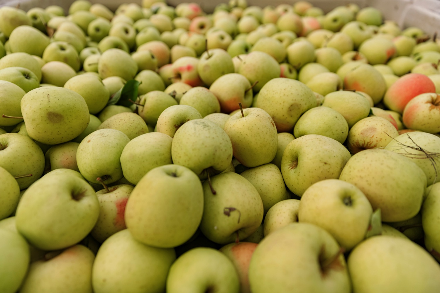 """<a href=""""https://filesource.wostreaming.net/commonwealthofpa/photo/20111_AGRIC_Food_Fuels_NK_006.JPG"""" target=""""_blank"""">⇣Download Photo<br></a>Apples to be sorted are pictured at Knouse Foods, during a press conference, which highlighted Pennsylvanias agriculture and food manufacturing industry at Knouse Foods, kicking off the Food that Fuels Pennsylvania tour, a plan to spotlight the commonwealths agriculture and food manufacturing industry and its workforce, on Wednesday, October 13, 2021."""